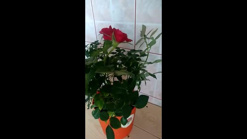 Роза через пять месяцев в ЦеоФлоре