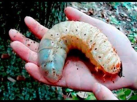 Крым уже без Пальм Их съели вредители Власти разрешили ввоз насекомых вредителей из Италии