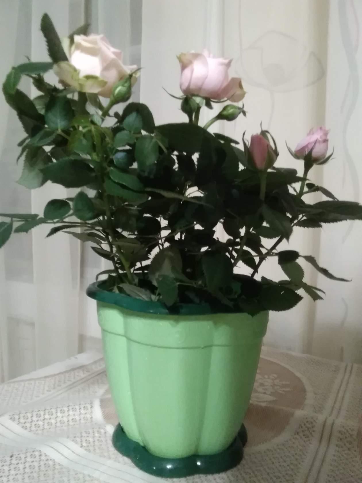 Почему миниатюрная роза часто погибает после покупки?