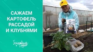 ПОСАДКА РАННЕГО КАРТОФЕЛЯ БЕЗ НАВОЗА! С ТРАВОЙ И КОМПОСТОМ через клубни и рассаду. Для супер урожая!