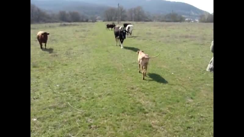 Коровки гопницы