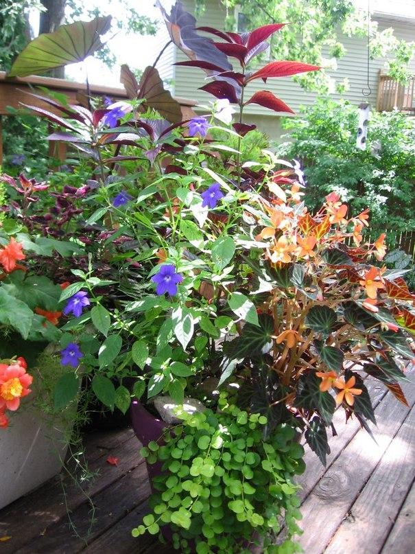 Броваллия в саду, в контейнерах, дома