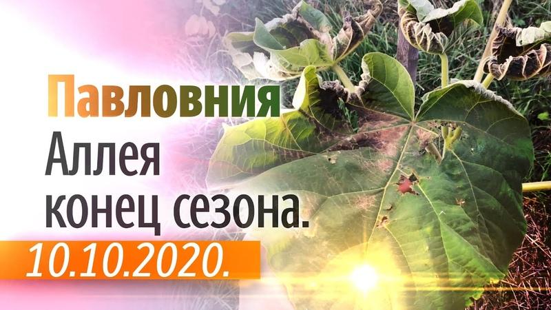Аллея Павловнии Обзор 10 10 2020