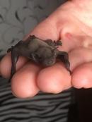 14 Июня в приют принесли очень маленького и не обычного, 2х неделного детёныша летучей мыши. Эту кро