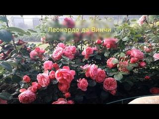 ✿➽  Роза Леонардо да Винчи в нашем саду 🌺🌿 сезон 2020🌺🌿