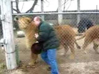Два зоопарковских самца льва весом около 400кг