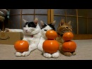 Три самых невозмутимых кота