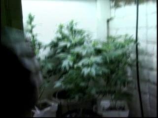 Высший пелотаж выращивания Марихуанны