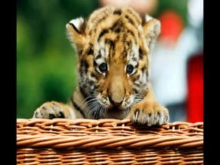 ТИГР...  Любителям животных