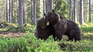 Битва медведей. Какие же они здоровые    капец