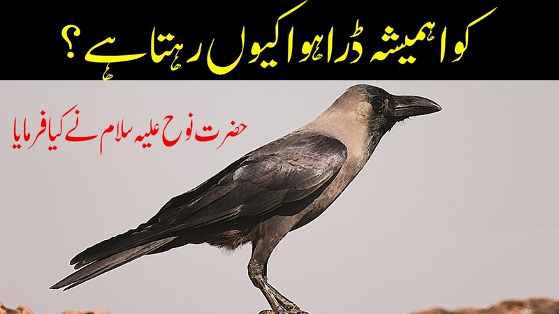 Kawa Hr Waqat Dara Howa Kiun Rehta ha Info In Hindi Urdu Crow Story کوا कौआ Ayesha Voice