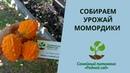 Собираем урожай момордики. Бешеный огурец выращивание из семян.
