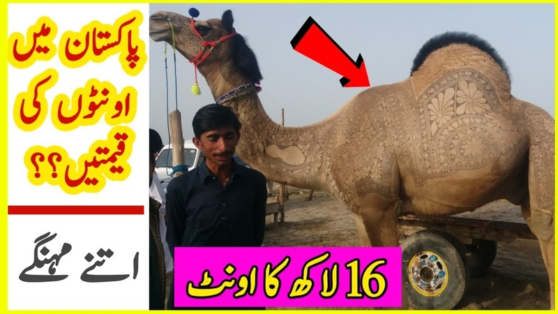 Camels Price In Pakistan || 1 Beautiful Camel Price Is 16 Lakh Rupees || 16 لاکھ کا اونٹ