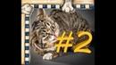 СМЕШНЫЕ КОТЫ Смешная видео нарезка про котов, кошек и котиков 2021! выпуск 2