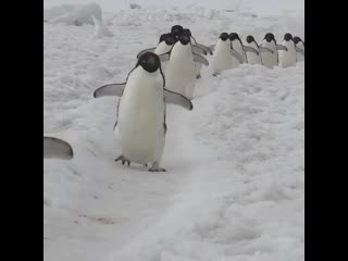 Не хочу работать, хочу смотреть на парад пингвинов