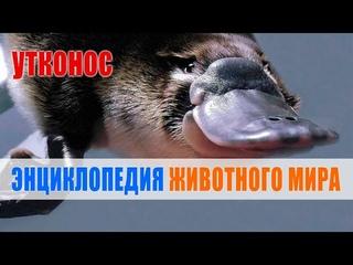 Утконос | Энциклопедия животного мира