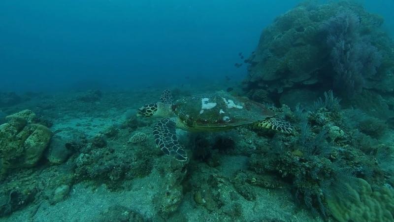 One breath freediving turtle