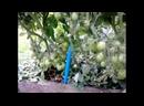 томаты помидоры выращивание на улице