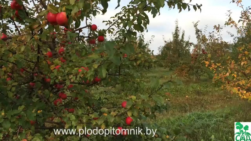 Зимние сорта яблонь, краткое описание.
