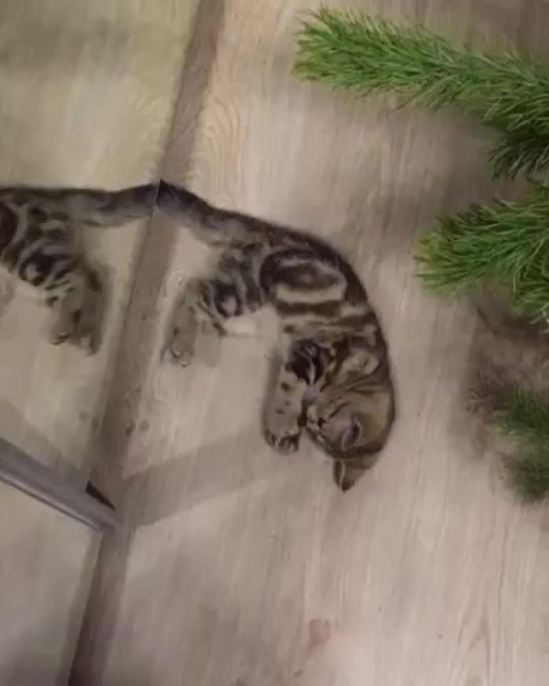 Scottish Straight мраморная девочка😈 #scottish#straight#шотландская#мраморная#кошечка#страйт#kittens#котята#шотландцы#черный#мра