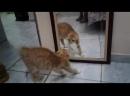 кот смотрит в зеркало и срет