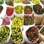 Тюльпаны оптом 50 штук