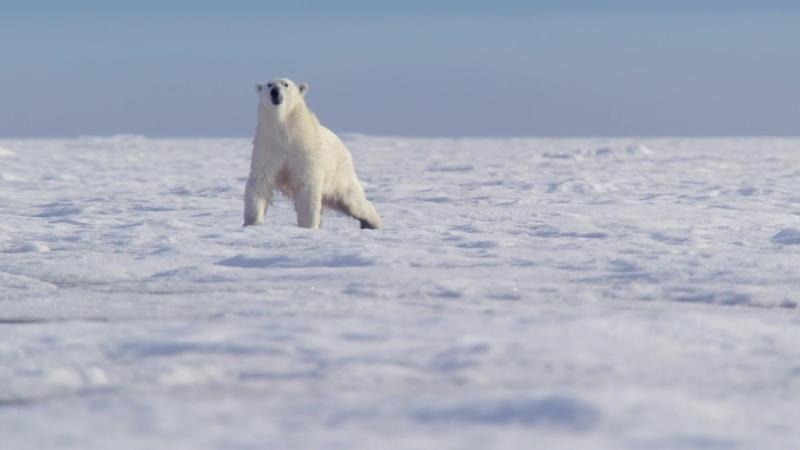 BBC Охота В тисках времен года Арктика