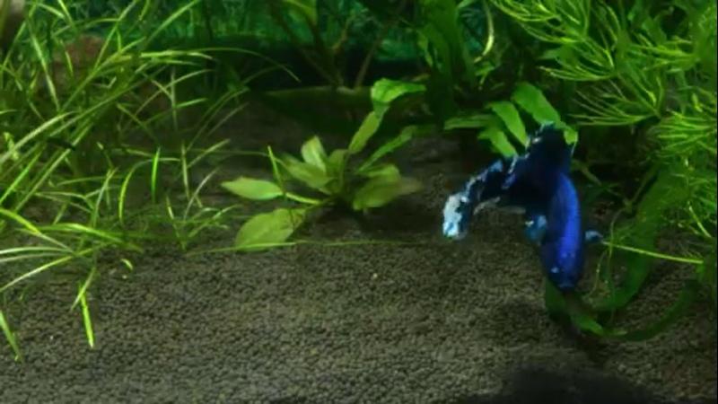 Петушок супер дельта или король аквариума 🤴🏻