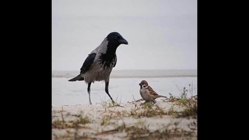 Василий Белов Как воробья ворона обидела