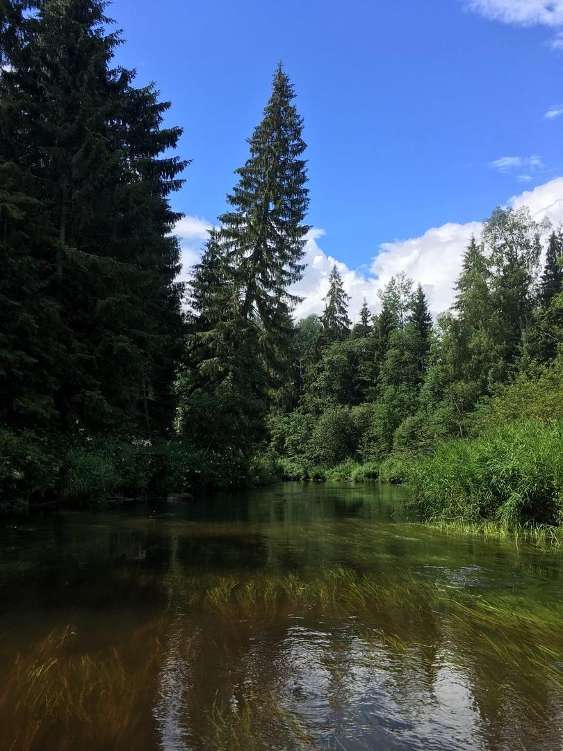еловые леса по берегам