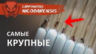 СРАВНЕНИЕ САМЫХ КРУПНЫХ ОСОБЕЙ, РЕАКЦИЯ МУРАВЬЕВ НА МУХ | Camponotus nicobarensis