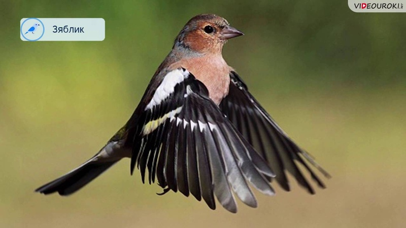 Видеоурок Перелётные птицы